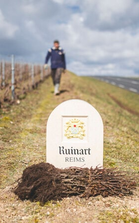 Maison Ruinart vineyard in Taissy